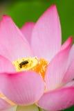 Lotos und Frosch lizenzfreie stockbilder