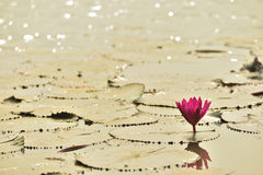 Lotos w Jeziorze Fotografia Stock
