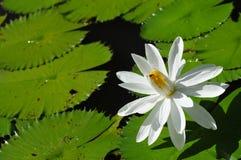 lotos w ranku Zdjęcie Stock