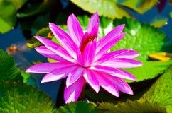 Spławowa wodna leluja Fotografia Stock