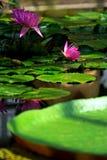 Lotosblume Stockbild