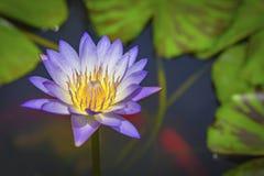 Lotosblume in der Natur Stockbilder