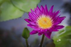 Lotosblume in der Natur lizenzfreie stockfotografie