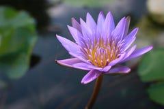 Lotosblume, Lotus-Teich in der Unschärfe zurück rieb stockbild