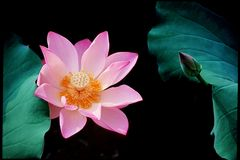 Lotosblume und eine Knospe Stockbilder