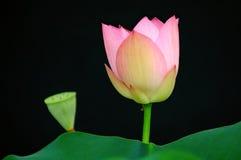 Lotosblume und -knospe Stockfoto