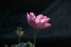 Lotosblume Zenabbildung Stockbild