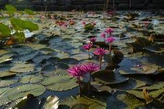 Lotosblumen im Teich stockbilder