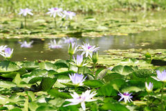 Lotosblumen im Teich Lizenzfreie Stockfotos