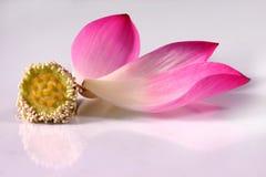 Lotosblumenblätter mit seiner Knospe Lizenzfreies Stockbild