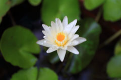 Lotosowa lub wodna leluja od Bangkok Tajlandia Zdjęcia Stock