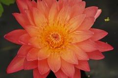 Lotosowa lub wodna leluja piękna woda kwitnie Obrazy Stock