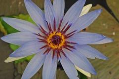 Lotosowa lub wodna leluja piękna woda kwitnie Zdjęcia Royalty Free