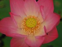 Lotosowa lub wodna leluja piękna woda kwitnie Obraz Royalty Free