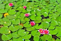 Lotosowa Wodna leluja Zdjęcie Royalty Free