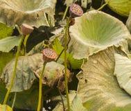 Lotosowe i więdnąć lotosowe rośliny zdjęcia royalty free