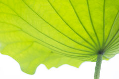 Lotosowe liść krzywy, tekstura i Obrazy Royalty Free