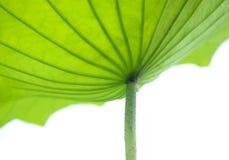 Lotosowe liść krzywy, tekstura i Fotografia Stock