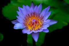 Lotosowe purpury Obraz Royalty Free