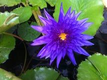 Lotosowe purpury kwitną nadwodnego kolor żółtego zdjęcie stock