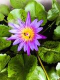 Lotosowe purpury z pszczołą Obrazy Royalty Free