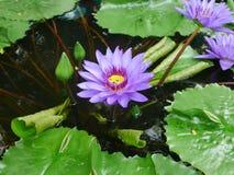 Lotosowe wodnej lelui Lotosowego kwiatu koloru purpury fotografia royalty free