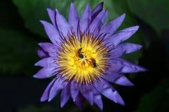 Lotosowego kwiatu fiołek, Lotosowego kwiatu purpur zakończenie up Zdjęcie Stock