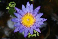 Lotosowego kwiatu kwitnienie (wodna leluja) Zdjęcia Royalty Free
