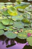Lotosowego kwiatu liście i lotosowego kwiatu rośliny na odbiciu woda uprawiają ogródek Fotografia Royalty Free