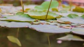 Lotosowego kwiatu liście i lotosowego kwiatu rośliny z insektem na odbiciu woda troszkę Fotografia Stock