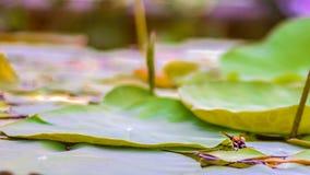 Lotosowego kwiatu liście i lotosowego kwiatu rośliny z insektem na odbiciu woda troszkę Obraz Royalty Free