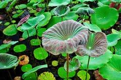 Lotosowego kwiatu Lotosowego kwiatu Piękny Piękny Tajlandzki Zdjęcie Royalty Free