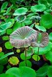 Lotosowego kwiatu Lotosowego kwiatu Piękny Piękny Tajlandzki Fotografia Stock