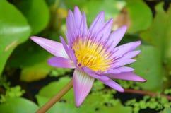 Lotosowego kwiatu lub Wodnej lelui okwitnięcie Fotografia Royalty Free