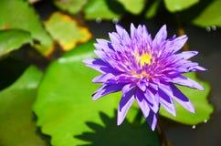 Lotosowego kwiatu lub wody Lilly okwitnięcie Zdjęcie Stock