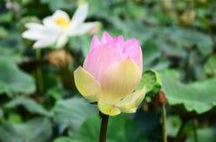 Lotosowego kwiatu lub wody Lilly okwitnięcie w stawie Obraz Royalty Free