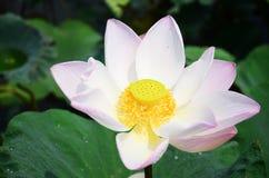 Lotosowego kwiatu lub wody Lilly okwitnięcie w stawie Obraz Stock