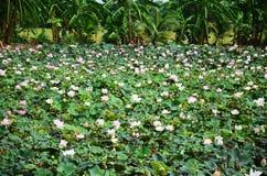 Lotosowego kwiatu lub wody Lilly okwitnięcie w stawie Obrazy Royalty Free