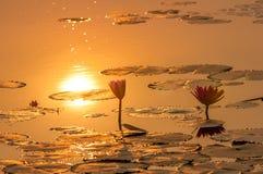 Lotosowego kwiatu lub zwierzęcia Ubon czerwień Fotografia Royalty Free