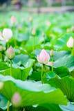 Lotosowego kwiatu ogród, Lotosowy staw Zdjęcia Stock
