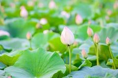 Lotosowego kwiatu ogród, Lotosowy staw Zdjęcie Royalty Free