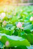 Lotosowego kwiatu ogród, Lotosowy staw z słońce lekkim skutkiem Zdjęcia Stock