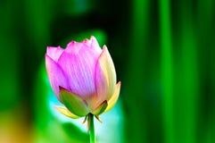 Lotosowego kwiatu okwitnięcie w lecie Obraz Royalty Free