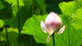Lotosowego kwiatu pączek zbiory wideo