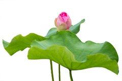 Lotosowego kwiatu pączek odizolowywający na bielu Obrazy Royalty Free