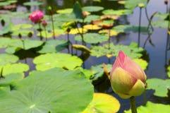Lotosowego kwiatu pączek Zdjęcia Royalty Free