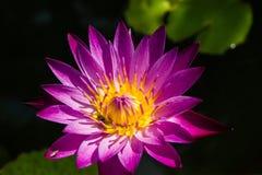 Lotosowego kwiatu purplecolor Zdjęcia Royalty Free