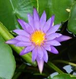 Lotosowego kwiatu purpleflower Zdjęcia Royalty Free