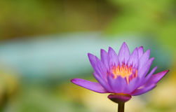 Lotosowego kwiatu purpury Fotografia Royalty Free