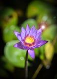 Lotosowego kwiatu purpury Obrazy Stock